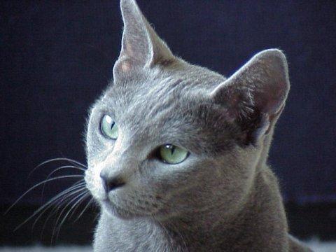 chat ble de Russie