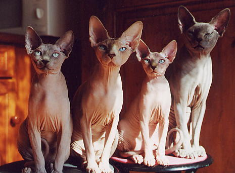 sphynx1